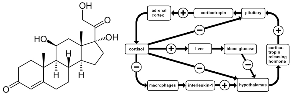 Cortisol-info